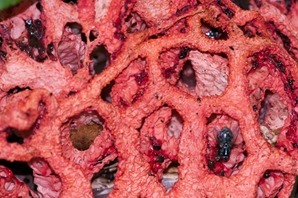 The distinctive smell of rotting flesh given out by the gleba helps to attract insects that spread the spores