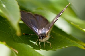 A brief glimpse of the purple upperwing.