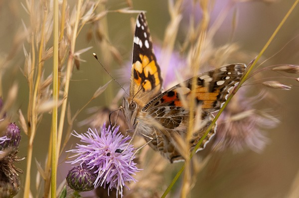 Painted Lady nectaring on a thistle