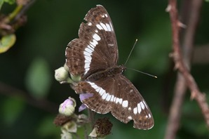 White Admiral within one of the wooded glades