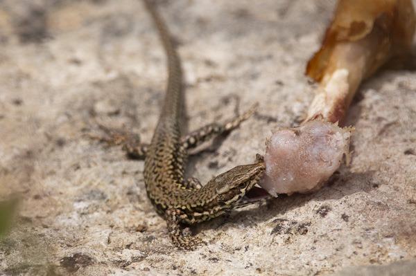 Wall Lizard enjoying a barbecue lunch.