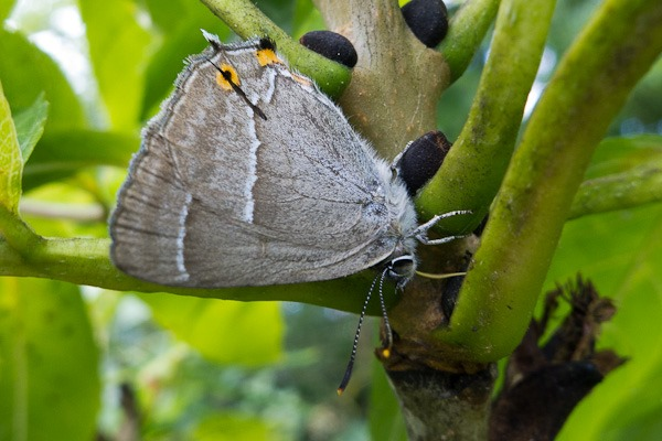 Purple Hairstreak feeding on honeydew excreted by aphids on an Ash tree