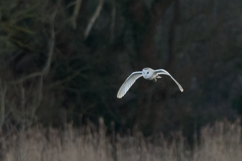 Barn Owl quartering the meadows