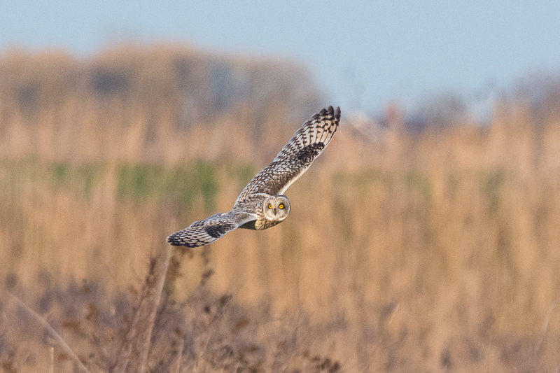 One of at least 3 Short-eared Owls on the lookout for voles.