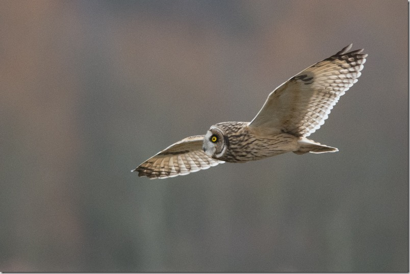 Short-eared Owl, Lunt Meadows