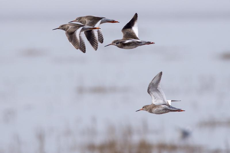 More Redshanks flying west
