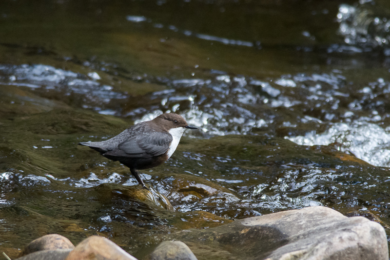 Dipper on Haredon Brook