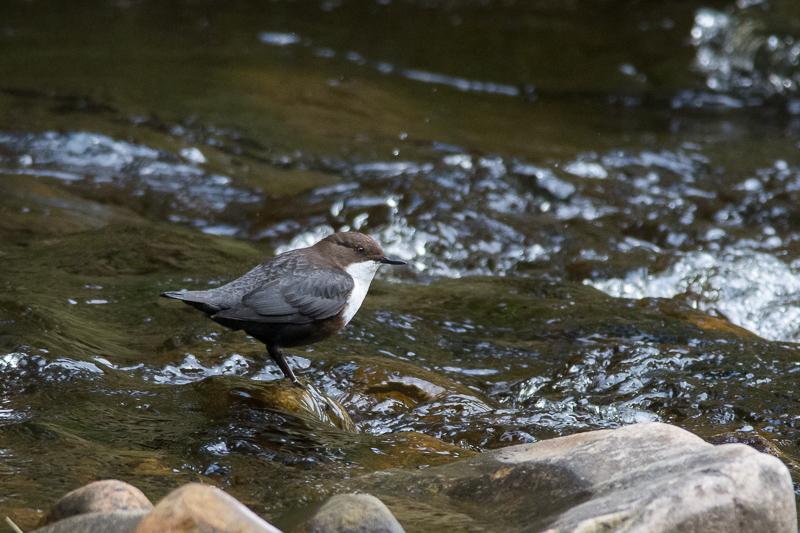 Dipper on Haredon Brook