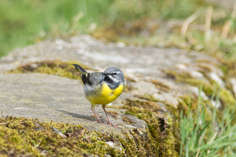 Grey Wagtail (male
