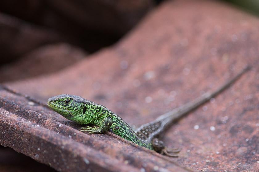 Sand Lizard (male) enjoying a few rays of spring sunshine at Higher Hyde Heath.