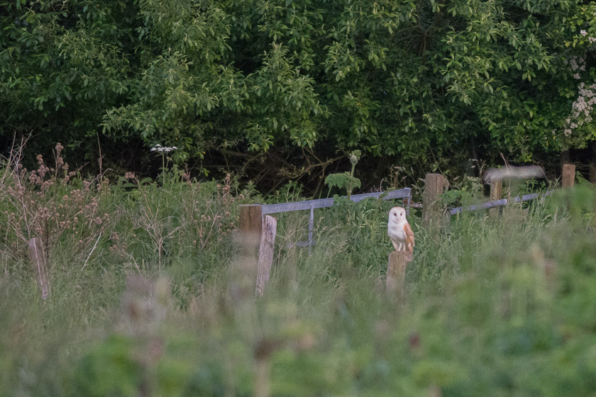 Barn Owl watching and waiting