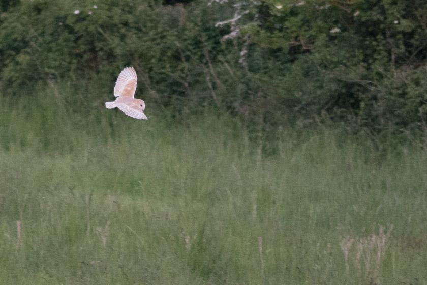 Barn Owl close to Corfe Castle