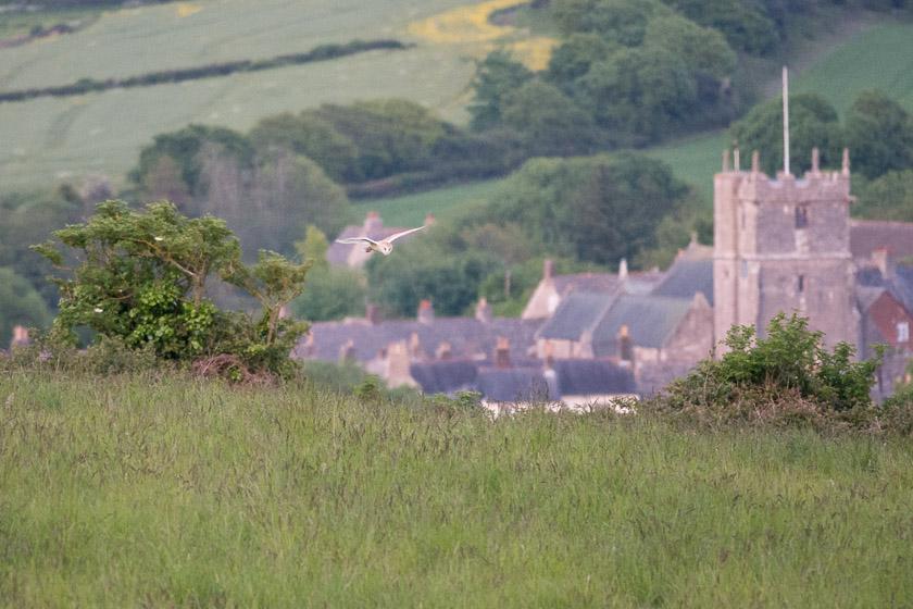 Barn Owl quartering the meadows close to Corfe Castle