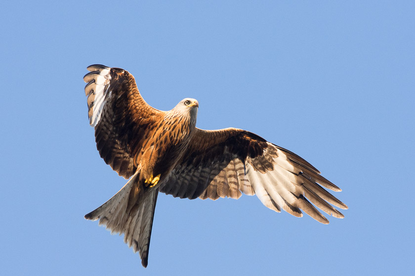 Red Kite, Watlington