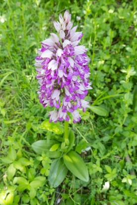 Military Orchid and basal rosette.