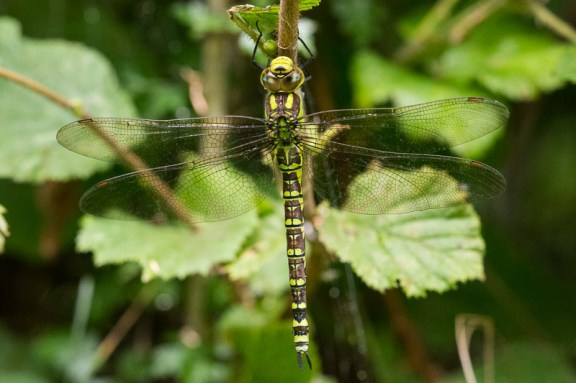 Southern Hawker (female)