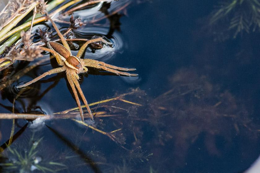 Raft Spider, Coombe Heath - Arne