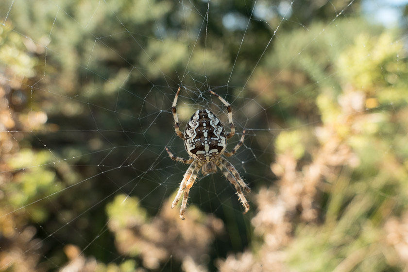 One of thousands of Garden Cross Spiders found across Coombe Heath