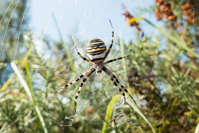 Wasp Spider, Coombe Heath - Arne