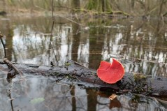 A Scarlet Elfcup floating by.