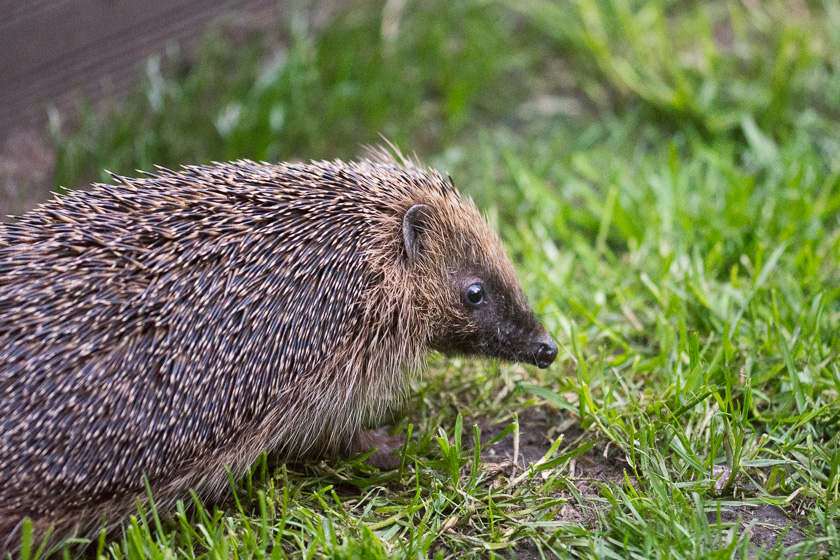 Another or possibly the same Hedgehog looking for mealworms