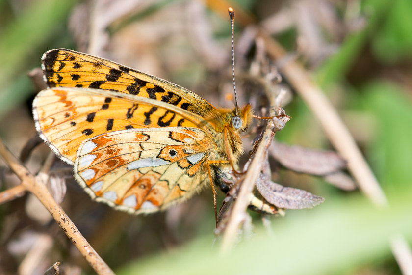 Underwing of a Pearl-bordered Fritillary