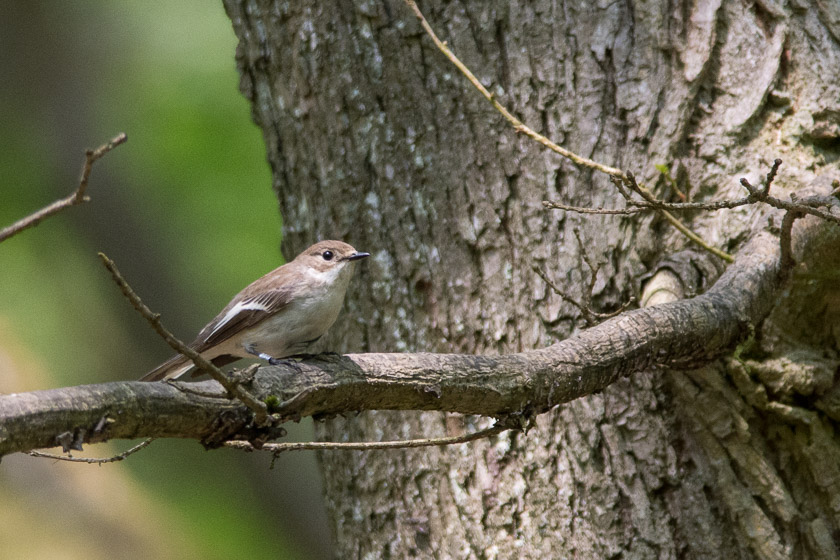 Pied Flycatcher (female).