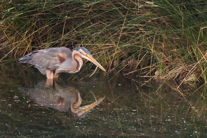 Purple Heron with Eel
