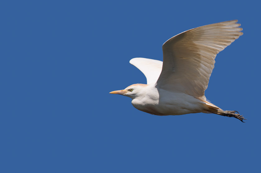 Cattle Egret in flight close to the visitor centre