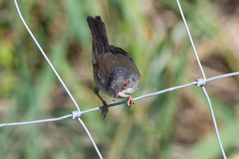 Female Sardinian Warbler