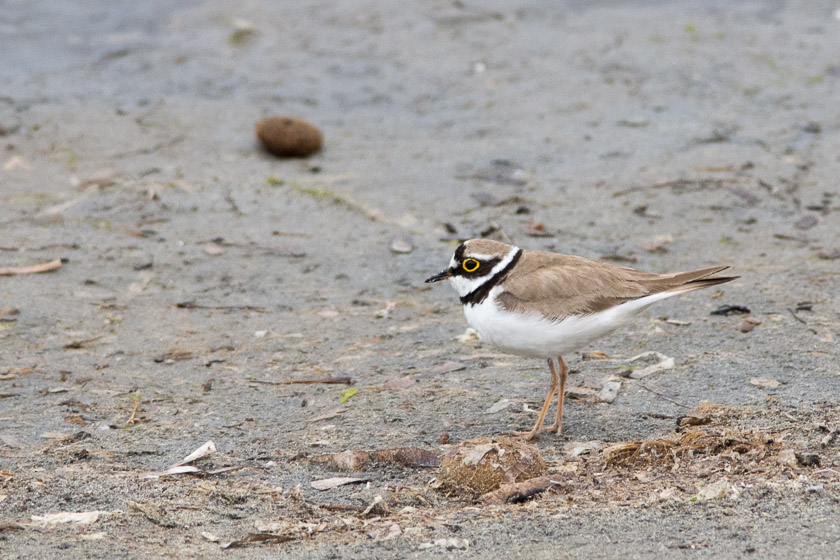 Little Ringed Plover searching along the tideline at S'Albufereta de Pollensa