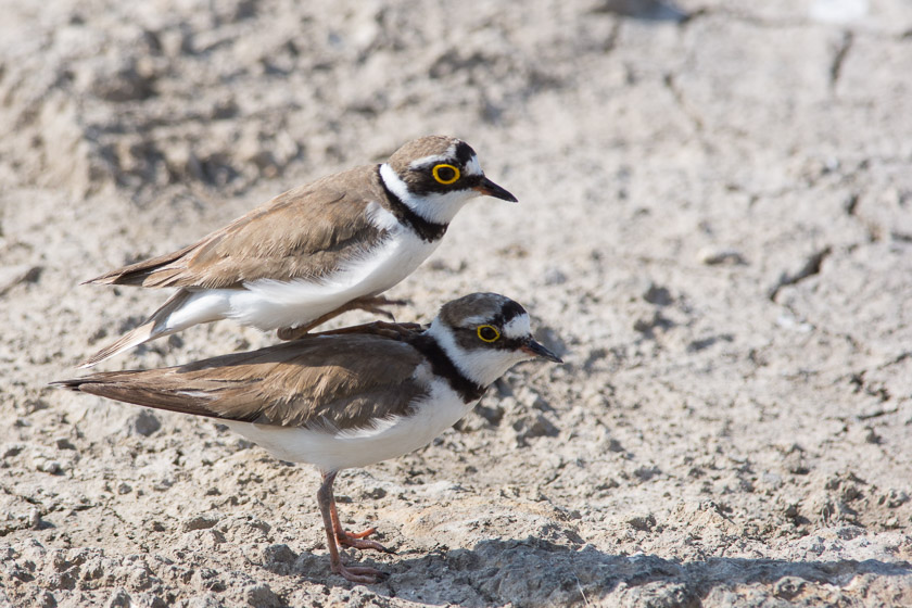 Love Island - A pair of Little Ringed Plovers.