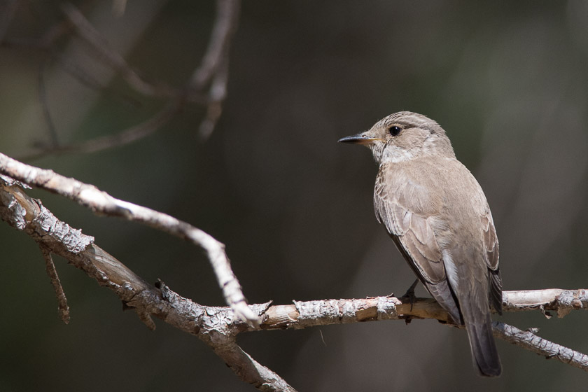 Spotted Flycatcher close to the entrance to the Boquer valley.