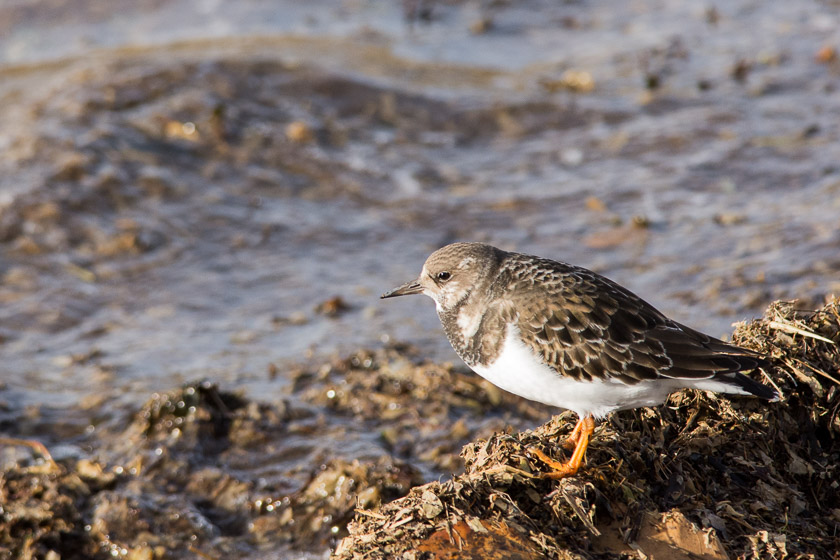 Turnstone at Knott End