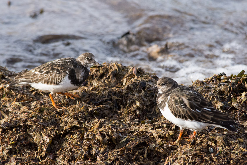 Turnstones feeding amongst the flotsam at Knott End