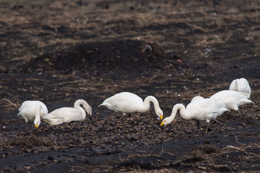 Whooper Swans enjoying a few potatoes