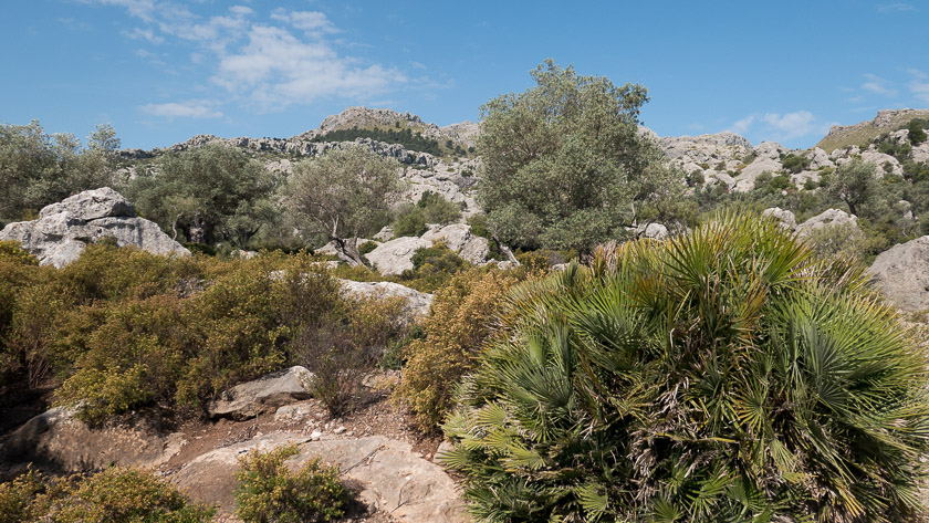 Fan Palms and Olives at Mortixt