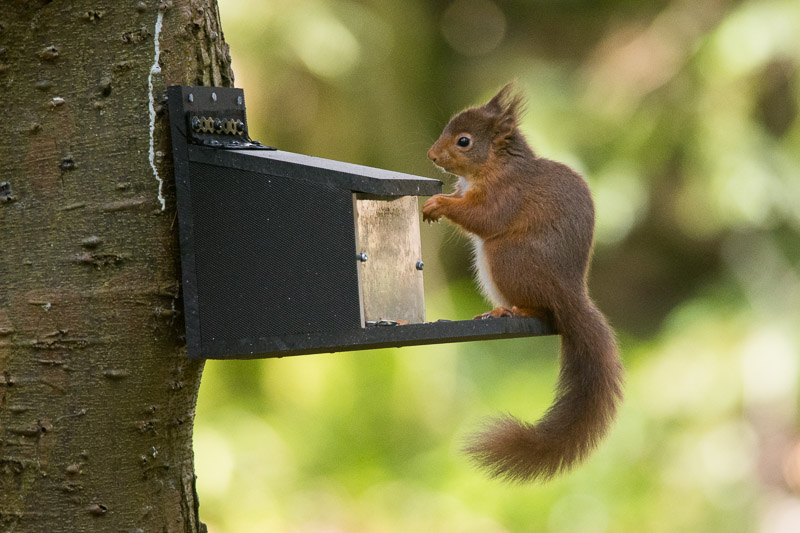 Another Red Squirrel on another feeder fixed as always to the shady side of the tree.