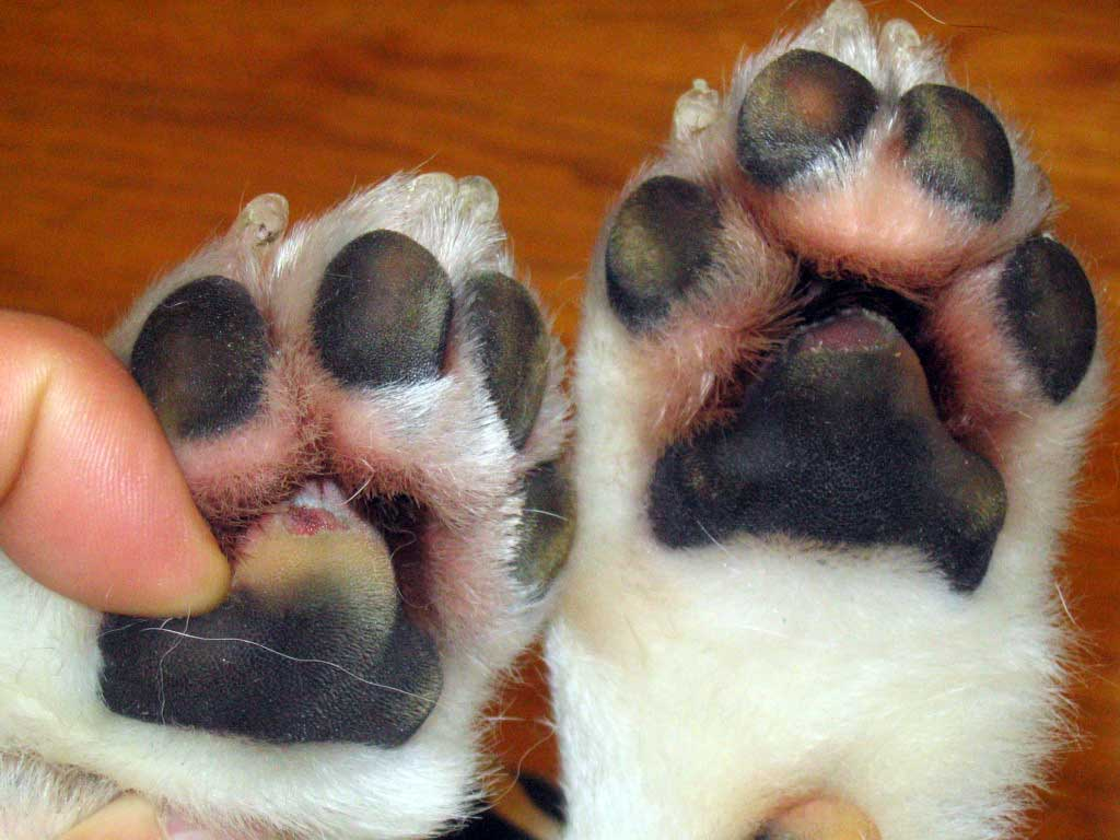 Red Paw Pads On Dogs