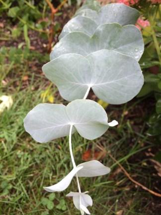 Silver dollar gum (Eucalyptus cinerea)