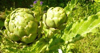 planta alcachofa