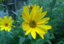 arnica planta