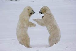 bears-sparring