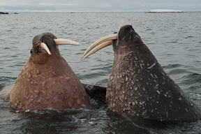 Two walrus sparring with dagger like tusks