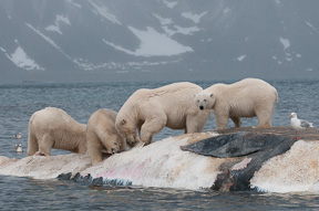 Four polar bears feed on the remains of a dead fine whale