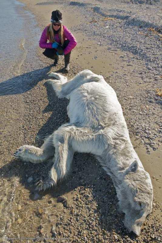 JoAnne Simerson, a polar bear specialist with the San Diego Zoo checks the remains of a dead polar bear.