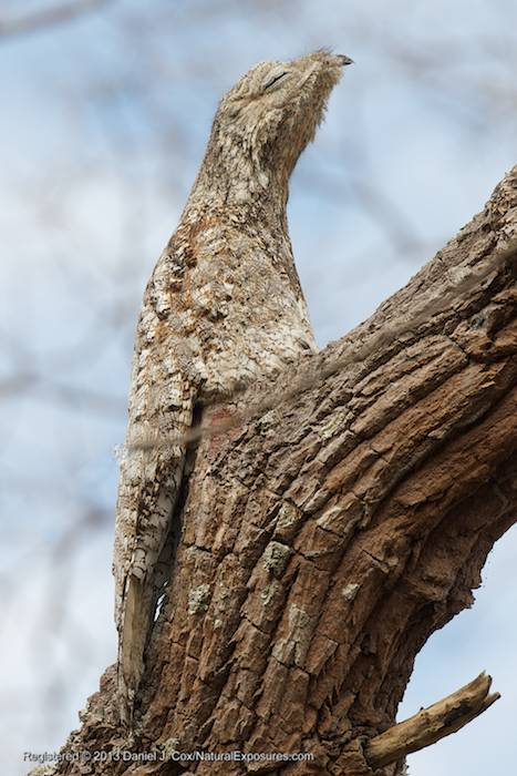 The Great Potoo doing what he does best, hiding in plane sight. Potooville, Brazil.