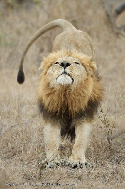 A large male lion stretches after his afternoon nap, ready to head off in tot he bush for the nights hunt.