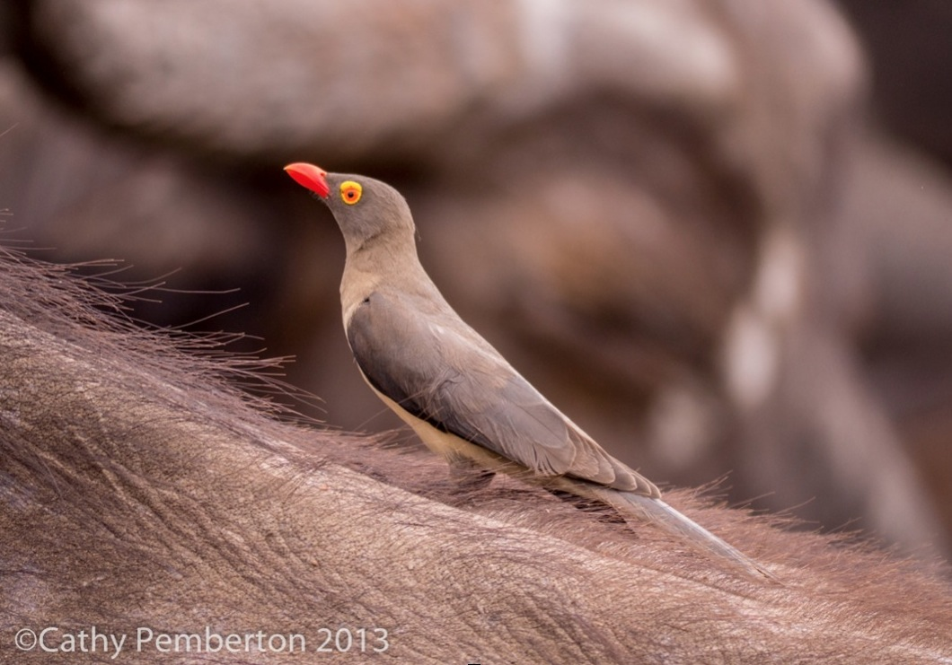 Cathy get close to a red-billed oxpecker with the 100-300mm zoom.