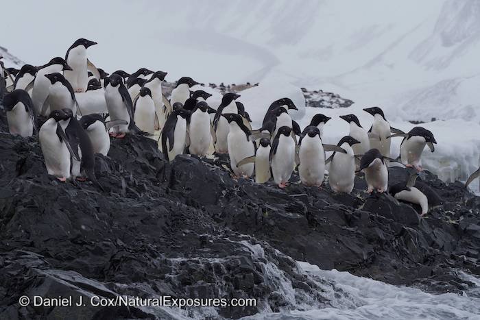 Adelie penguins ner the Esperanza Base, Antarctica.
